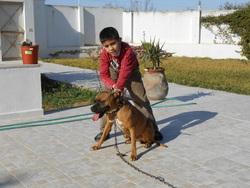 Boxer, chien Boxer