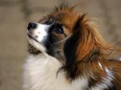 Vanilla, chien Épagneul breton