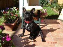 Boxy, chien Bouledogue français