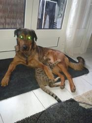 Boyce, chien Beauceron