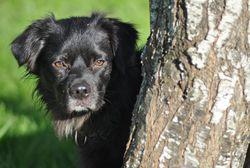 Boyd, chien