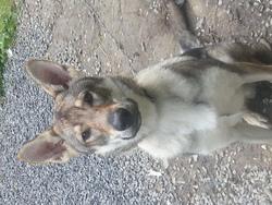 Boyka, chien Chien-loup tchèque
