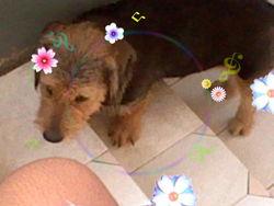 Bozette, chien Basset des Alpes