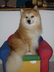 Bozo, chien Spitz allemand