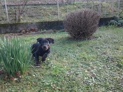 Bozo, chien Beauceron