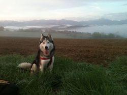 Braak, chien Husky sibérien
