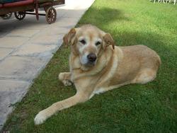Bracken, chien Labrador Retriever