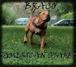 Braco, chien American Staffordshire Terrier