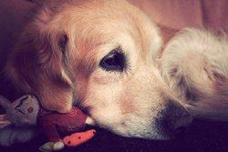 Bradley, chien Golden Retriever