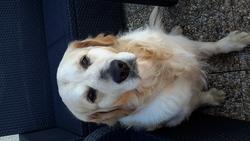 Bradt, chien Golden Retriever