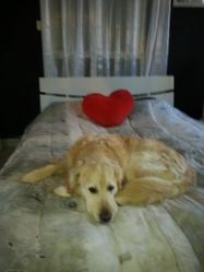 Brady, chien Golden Retriever