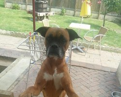 Braga, chien Boxer