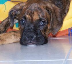 Brake, chien Boxer