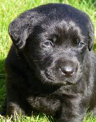 Willow, chien Labrador Retriever