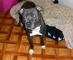 Brako, chien American Staffordshire Terrier