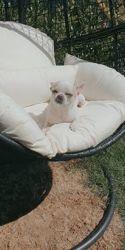 Branco, chien Chihuahua