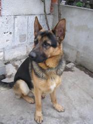 Brandy, chien Berger allemand