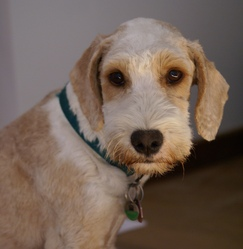 Brandy, chien Griffon fauve de Bretagne