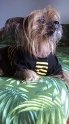 Brandy, chien Chien chinois à crête