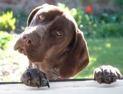 Braque, chien Braque allemand à poil court