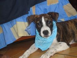 Brasco, chien