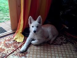 Brasco, chien Berger blanc suisse