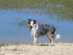 Braska, chien Border Collie