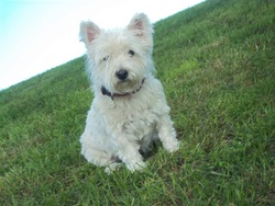 Brava, chien West Highland White Terrier