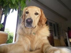 Bredzel, chien Hovawart