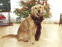 Breizhan, chien Golden Retriever