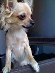 Brenda, chien Chihuahua