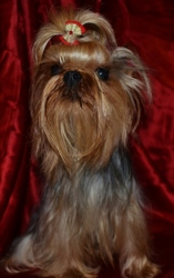Brenda-Lee Of Meadow Cottage, chien Yorkshire Terrier