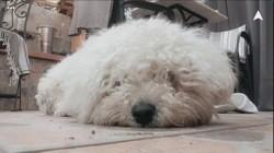 Bretzel, chien Bichon à poil frisé