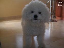 Bricciola, chien Bichon à poil frisé