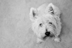 Brice, chien West Highland White Terrier