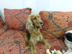 Brice, chien Cocker anglais