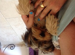 Brice, chiot Yorkshire Terrier