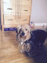 Brigitte, chien Yorkshire Terrier