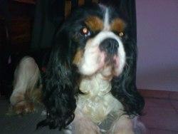 Brigthon, chien Cavalier King Charles Spaniel