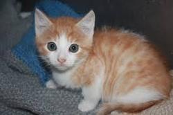 Brillante, chat Gouttière