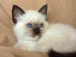 Briman, chat Birman