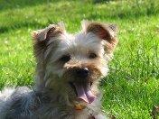 Brindille, chien Yorkshire Terrier