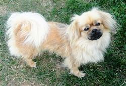 Brindille, chien Épagneul tibétain