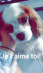 Brindille, chien Cavalier King Charles Spaniel