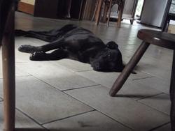 Brindille, chien Labrador Retriever