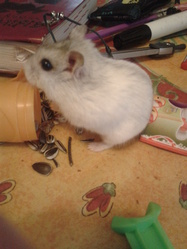 Brindille, rongeur Hamster