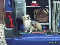 Brindille, chien Chihuahua