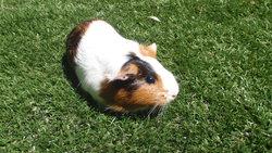 Brindille, rongeur Cochon d'Inde