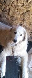 Brindille Chipie, chien Mâtin des Pyrénées