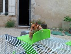 Brioche     Au Paradis , rongeur Hamster